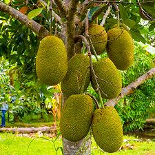 The jackfruit tree bore very large fruit!